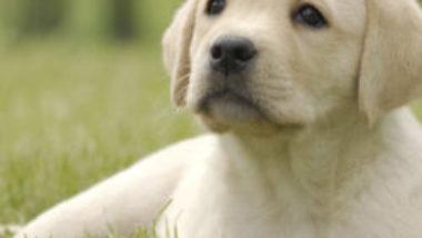 cropped-labradorpuppy-1.jpg