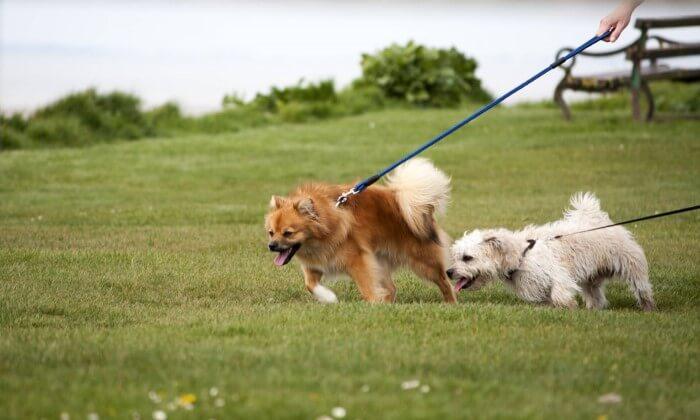 Cães caminhando