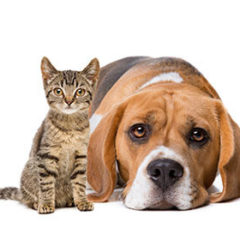 Beagle and Cat Together