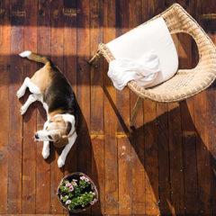 Beagle at home