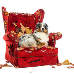 Dog Lying on a Destroyed Armchair