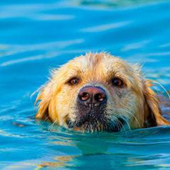 Gold Retriever Swimming