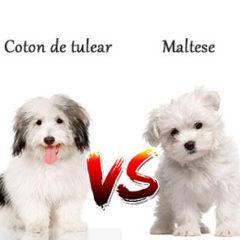 Coton de tulear vs Maltese