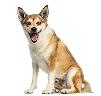 norwegian-lundehund
