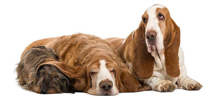 Cães Basset