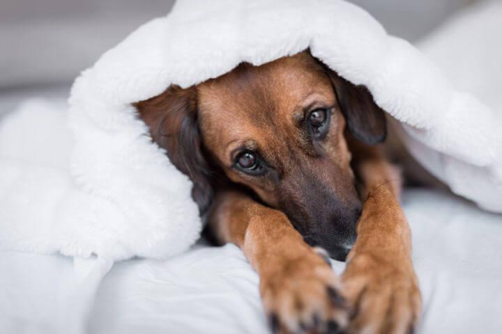cachorro com toalha na cabeça